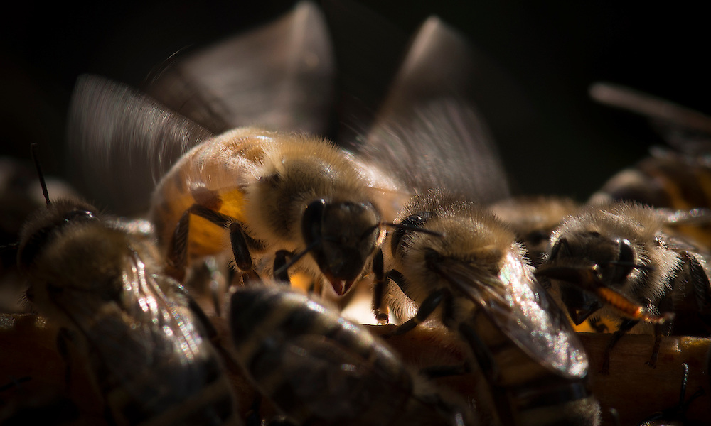 European honey bee (Apis mellifera), flapping wings to control hive temperture, Captive,  credit: Palo Alto JMZ/M.D. Kern