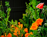 Red and California Poppy. Image taken with a Fuji X-T2 camera and 100-400 mm OIS lens.