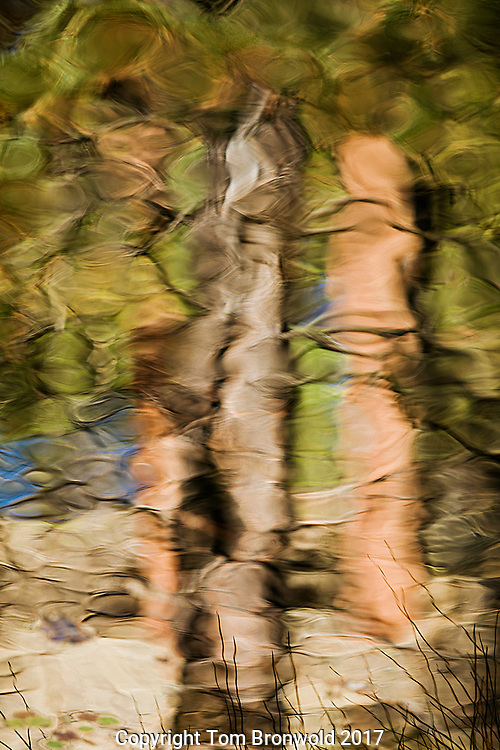 The Ponderosa Pine forest as reflected in the waters gathering at Pomery springs in the Pomery tanks on the Sycamore rim