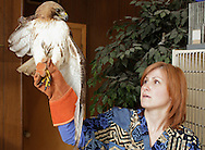 Susan DeNicholas, an licensed veterinary technician and licensed wildlife rehabilitator at West End Veterinary in Newburgh, holds the red-tailed hawk that had surgery to remove a part of its injured wing. The bird will be taken to Berkshire Bird Paradise, a bird sanctuary in Petersburgh.
