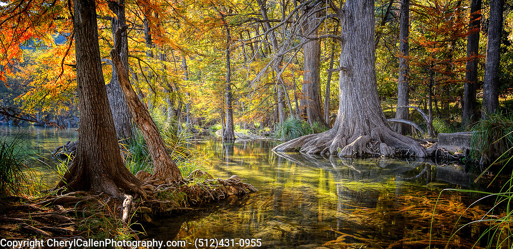 Cypress Trees in the Frio River in Garner State Park