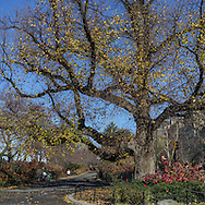 An old English Elm courageously holding on to its last autumn leaves near the Engeneers Gate in Central Park.