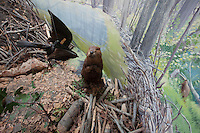 Beavers: Taxidermy animals were originally key parts of these dioramas of nature scenes, small recreations of researched locations of the natural habitats of the full sized animal taxidermy examples.  The dioramas were hugely popular in the community and several of the 20 odd installations in the museum were relocated to the new public museum; other taxidermy animals from the installations were re-tasked at the new museum on the other side of downtown as well…hence some of these dioramas' animals are absent and the 'habitats' are damaged--this all took place in the 1980's when the museum staff relocated parts of the  dioramas to their new purposes in the new museum. Originally built from about 1938 when the first Grand Rapids Public Museum (GRPM) was completed.The original museum was founded as the 'Kent County Scientific Society' and is one of the oldest Natural History Collections in the US--founded before both the American Natural History Museum in NYC, and the Field Museum in Chicago. From the collection the grand rapids public museum.