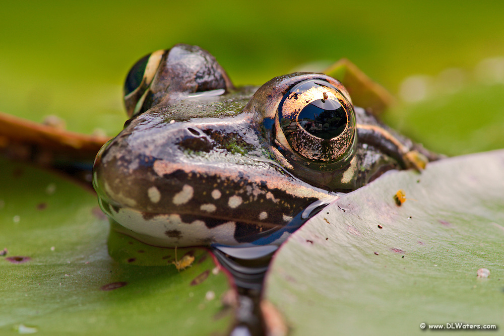 This frog allowed me to get extremely close as poked its head up out of the water while surrounded by lily pads in my backyard pond.
