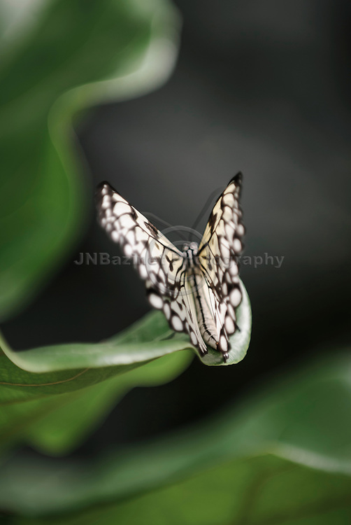 Beautiful Rice Paper Butterfly with fluttering wings, lands on large green leaf.