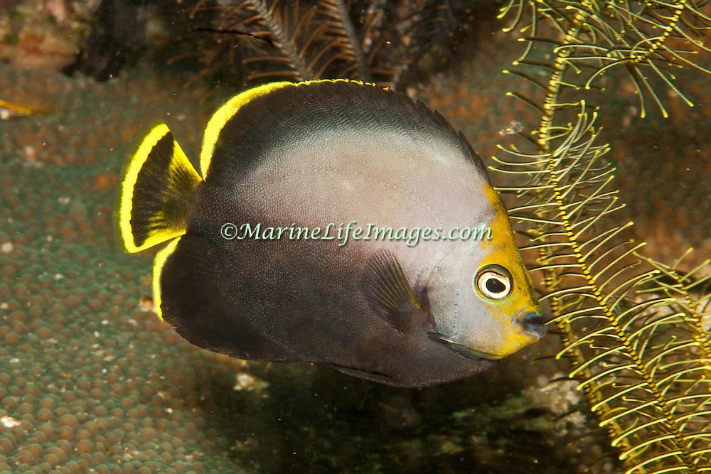 Black Velvet Angelfish inhabit inhabit reefs; picture taken Raja Ampat, Indonesia.