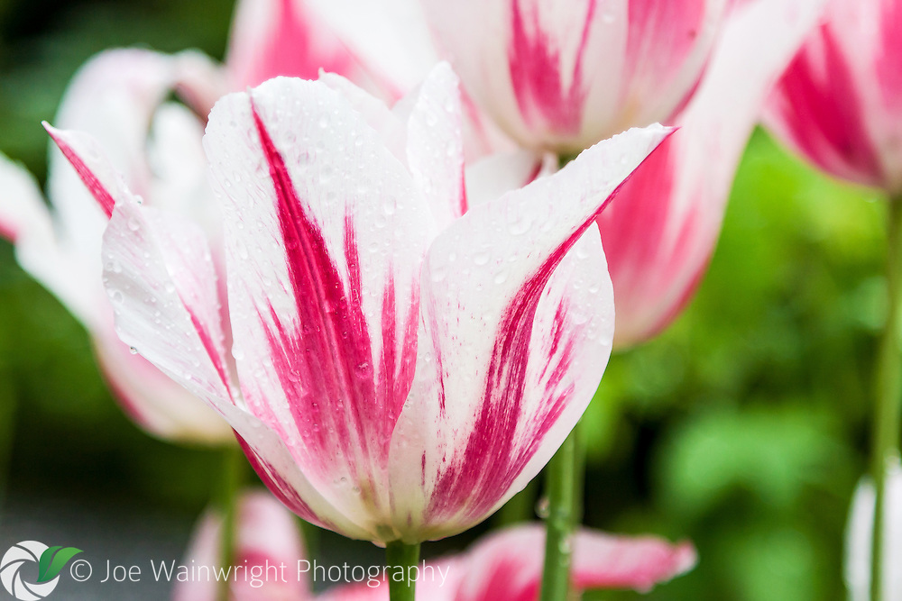 A pink and white tulip still covered in raindrops after a spring shower.