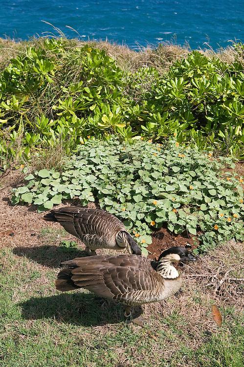 Nene Hawaiian geese, the state bird of Hawaii