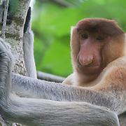 Probocis monkey, Nasalis larvatus, in Bako National Park, Malaysia