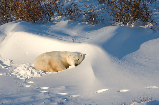 Polar Bear (Ursus maritimus) an individual at  Cape Churchill, Manitoba resting in a snow drift in the willows at Cape Churchill, Manitoba