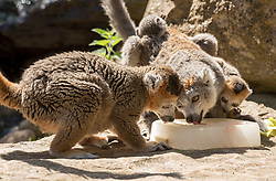© Licensed to London News Pictures.  26/06/2018; Bristol, UK. Picture of Crowned Lemurs licking ice cubes, with mother Tiako with two babies who are eight weeks old. Animals at Bristol Zoo are given cooling treats of vegetables in ice during the hot weather as temperatures rise across the UK this week. Meerkats, lemurs and keas are given ice lollies and penguins enjoy a sprinkler shower. Photo credit: Simon Chapman/LNP