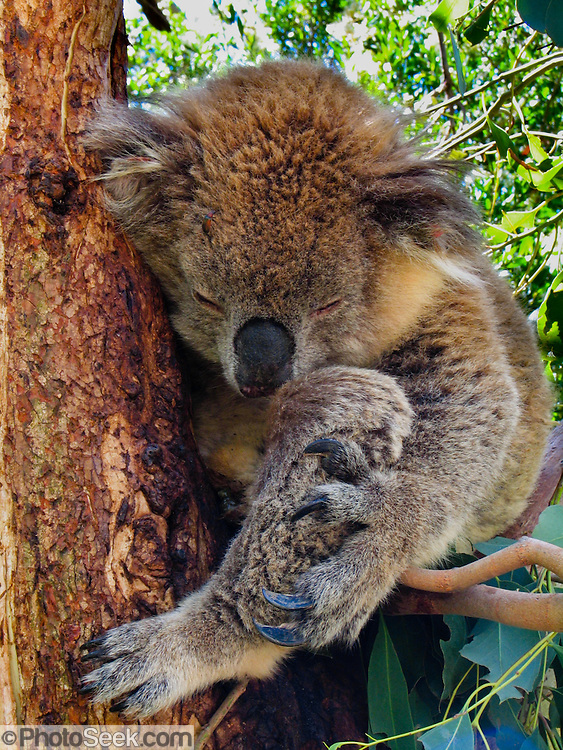 A koala rests in a tree at Koala Conservation Centre, Phillip Island, Victoria, Australia. The koala (Phascolarctos cinereus) is an arboreal herbivorous marsupial native to Australia, and the only surviving member of the family Phascolarctidae. The koala is found in coastal regions of eastern and southern Australia, from Adelaide to the southern part of Cape York Peninsula, extending inland where enough moisture supports suitable woodlands. The koalas of South Australia were mostly exterminated during the early 1900s, but have been repopulated with Victorian stock. The koala is not found in Tasmania or Western Australia. The koala is one of the few mammals (other than primates) that has fingerprints. It is generally silent, but males have a very loud advertising call that can be heard from almost a kilometer away during the breeding season. The koala requires large areas of healthy, connected forest and will travel long distances along tree corridors in search of new territory and mates. Human encroachment cuts these corridors with agricultural and residential development, forestry, and road-building, marooning koala colonies in decreasing areas of bush.