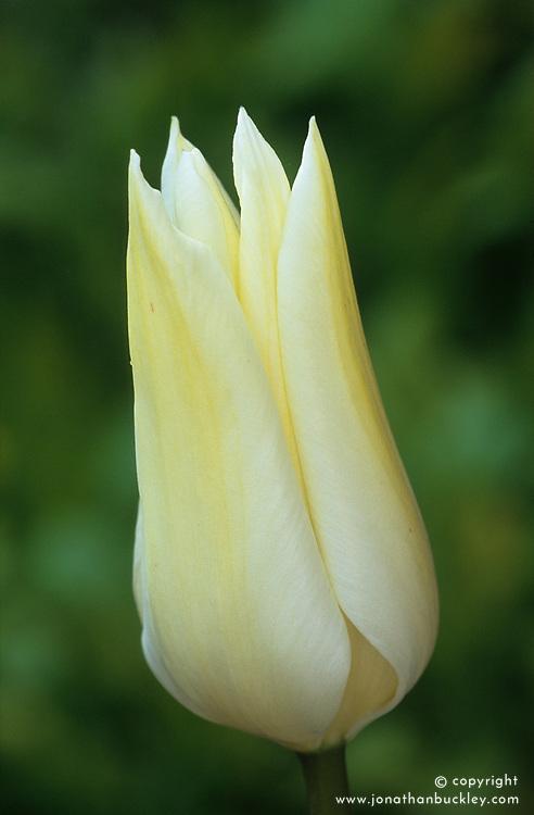 Tulip 'White Triumphator'