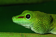 madagascan day gecko - head shot