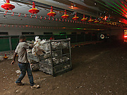 Poultry Farming. Chicks are being round up packed into small boxes and shipped of to the slaughter house. Photographed at night in Israel, Kibbutz Maagan Michael