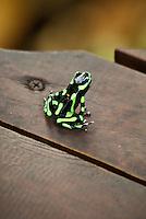 Green and black poison dart frog at Lapa Rios Ecolodge, Osa Peninsula, Costa Rica