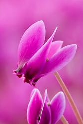 Cyclamen hederifolium var. hederifolium f.hederifolium 'Ruby Glow' ( Ruby strain )