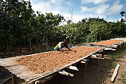 Daniel Apia Kouame Gboko spreads cocoa beans to dry in the sun on his farm near the town of Moussadougou, Bas-Sassandra region, Cote d'Ivoire on Tuesday March 6, 2012.