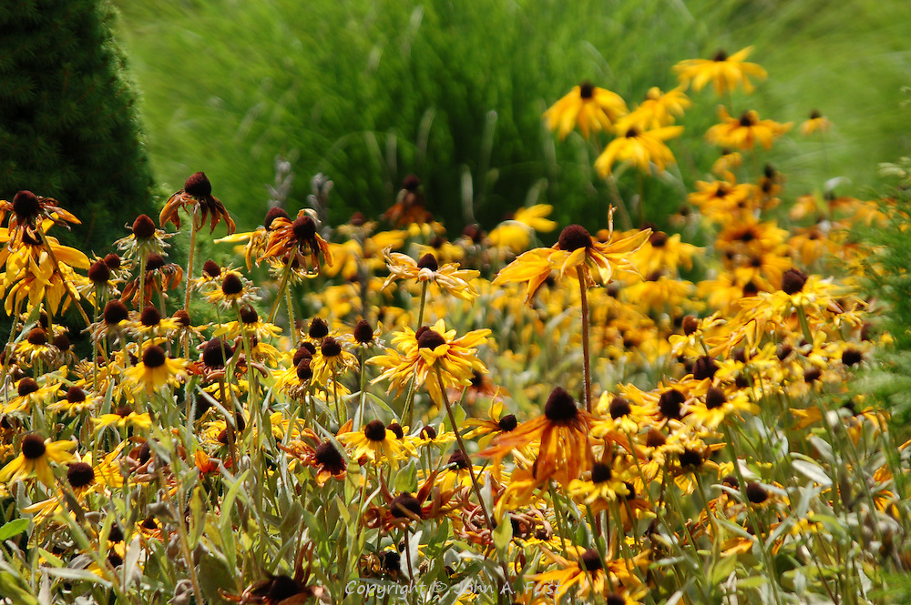 A small patch of black eyed susans in the mid day sun.  Kripalu, Stockbridge, MA