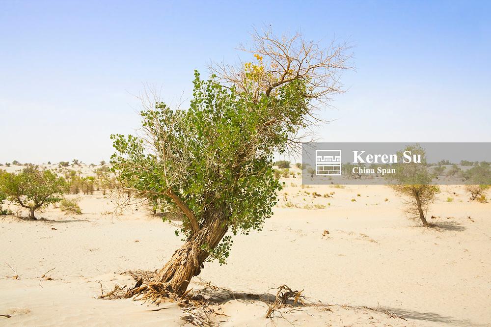 Poplar tree (Populus euphratica) in the desert, Aksu, Xinjiang, China