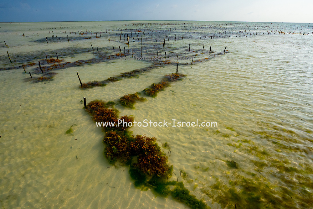 Growing algae on the eastern shores of Zanzibar