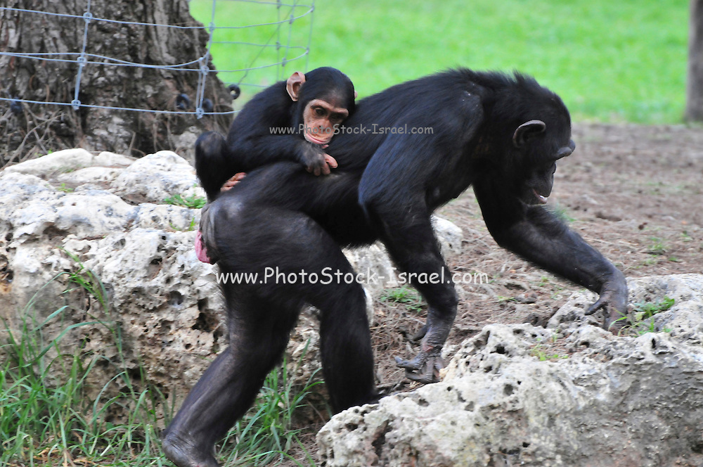 Chimpanzee (Pan troglodytes) in captivity. Mother and young