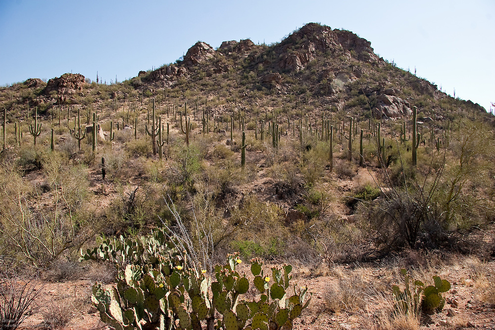 Prickly pear and desert vegetation in Saguaro National Park, Arizona