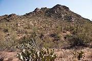 Prickly pear and desert vegetation in Saguaro National Park, Arizona