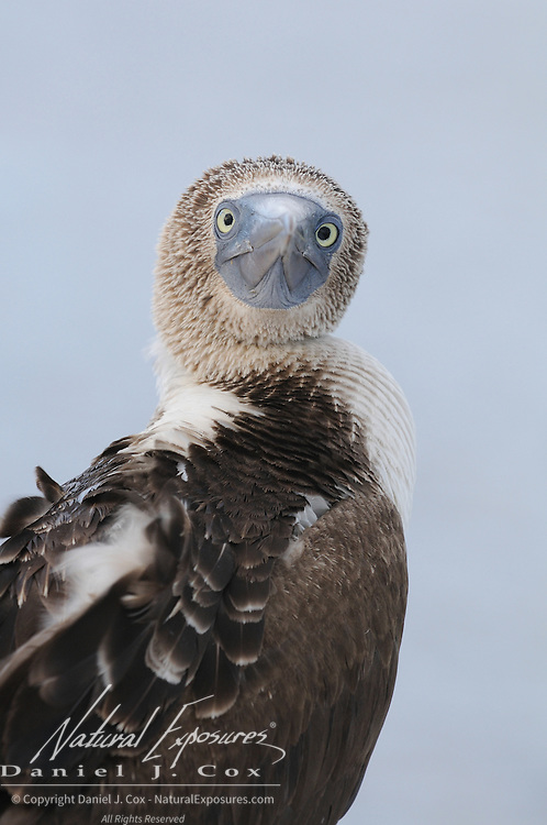 Blue-footed Booby (Sula nebouxii) on the Galapagos islands, Ecuador.