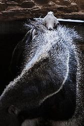 © London News Pictures. 18/06/2013. Canterbury, Kent. Oso, the 6 week old baby giant anteater, debuts on the back of his mother Fidgi at Howletts Wild Animal Park in Kent. Giant Anteaters are native to South America and females normally give birth to one baby at a time, after a gestation period of 190 days. Young are carried on their mothers back and may stay with their mothers for up to 2 years.Picture credit should read Manu Palomeque/LNP