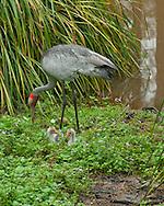 Brolga crane and two baby chicks