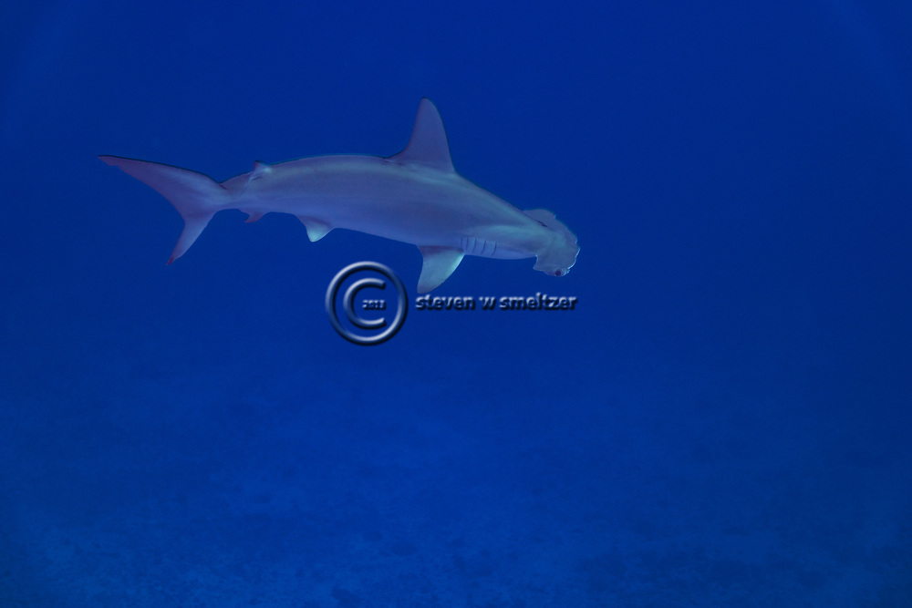 Scalloped Hammerhead Shark, Sphyrna lewini, (Griffith & Smith, 1834), Molokai, Hawaii, Moku Ho'oniki Rock