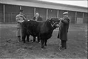 "20/02/1963.02/20/1963.20 February 1963.RDS Bull Show. .1,500 guineas were paid to Mr Maurice Dinneen, Garrylaurence, Dungourney, by the Dept. of Agriculture for his Dairy Shorthorn champion ""Garrylaurence Command"". Image shows Mr Dinneen (right) showing the bull to Sam Millar, Ballysudden House, Cookstow (left) and W. Gordon Blackstock, M.B.E. of Cairnbrogie, Old Meldrum, Aberdeen shire, the Shorthorn judges at the RDS Bull Show."