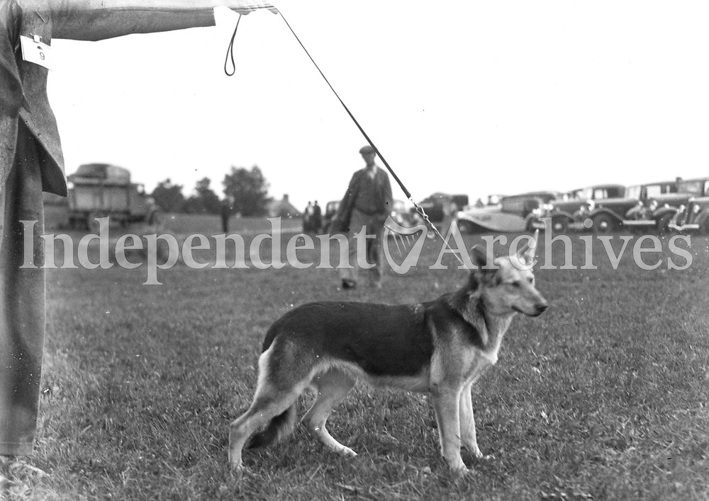 H2929 Horse Show - Limerick. Dog. (n.d.). 1935 (Part of the Independent Ireland Newspapers/NLI Collection)