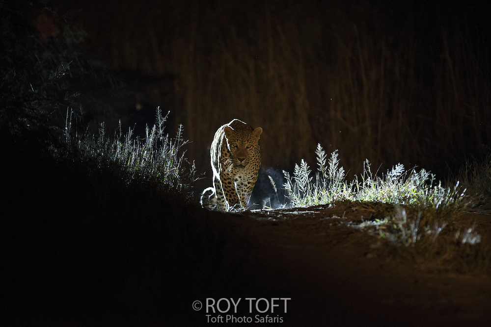 Leopard (Panthera pardus) at night, Mala Mala Game Reserve, South Africa