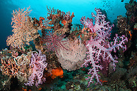 Vibrant Soft Corals and Gorgonians <br /> <br /> Shot in Indonesia