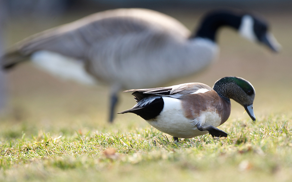 a drake widgeon feeds on grass.
