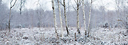 A silver birch tree coppice in the snow. Hollybank Woods, Emsworth, Hampshire, England<br /> Picture date: Tuesday February 3, 2015.<br /> Photograph by Christopher Ison &copy;<br /> 07544044177<br /> chris@christopherison.com<br /> www.christopherison.com