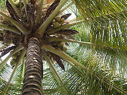 Coconut palm tree, Mysore.