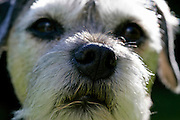Border Terrier Dog close-up with grey muzzle.