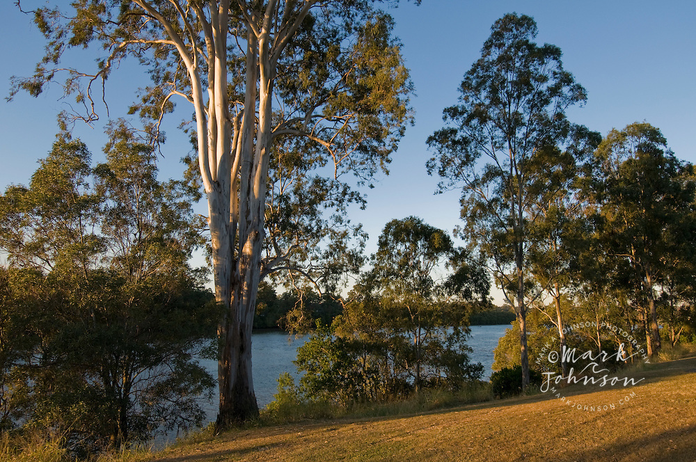 Eucaplyptus trees along the bank of Brisbane River, Yeronga, Queensland, Australia