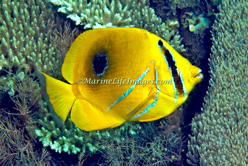Eclipse Butterflyfish inhabit reefs. Picture taken Lembeh Straits, Sulawesi, Indonesia.