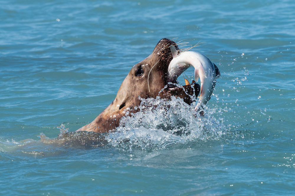 Steller Sea Lion (Eumetopias jubatus) swallowing a Pink Salmon at Solomon Gulch Hatchery in Valdez in Southcentral Alaska. Summer. Afternoon.