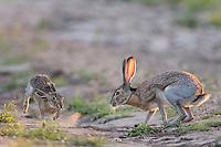 Black-tailed Jackrabbit, Lepus californicus<br /> Photographer:  Robert Rommel <br /> Property:  Sick Dog Ranch / Mitchell &amp; Dianne Dale, Michael Dale