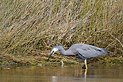 White-faced Heron at estuary, New Zealand