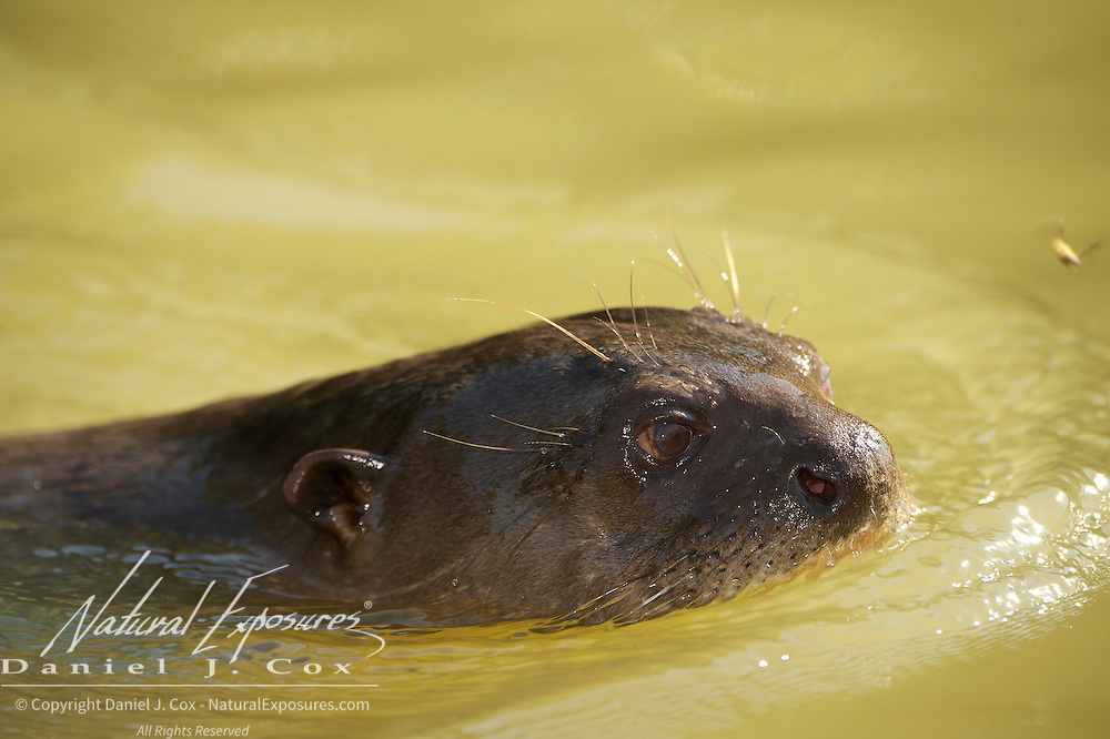 Giant Otter, swimming in Rio Pixaim River, Pantanal, Brazil.