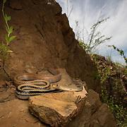 Radiated Rat Snake (Coelognathus radiatus) in Kaeng Krachan district, Thailand