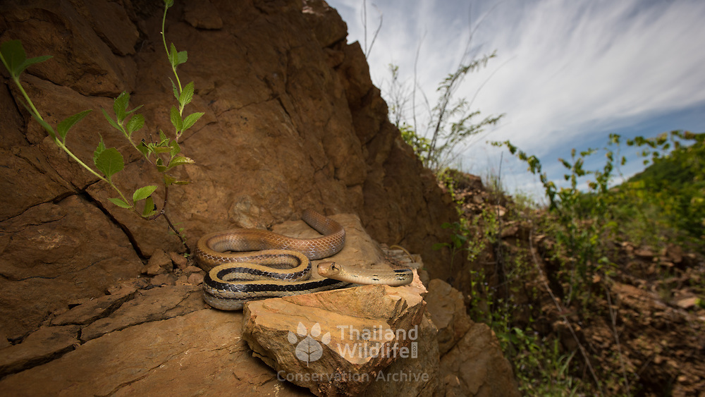 Radiated Rat Snake (Coelognathus radiatus) in Kaeng Krachan district, Thailand