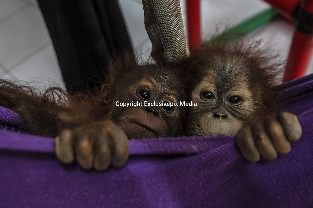 Nov. 23, 2015 - Batu Mbelin, North Sumatra, Indonesia - <br /> <br /> Baby Orangutans Recovered from Wildlife Traffickers<br /> <br /> Baby orangutans wait for a medical checkup at Sumatran Orangutan Conservation rehabilitation centre. Three baby Sumatran orangutans were recovered recently after police arrested wildlife traffickers who smuggled them out of Aceh province. <br /> &copy;Tanto H/Exclusivepix Media