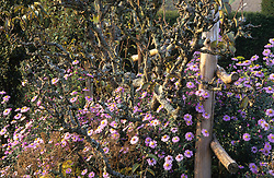 Aster novi belgii 'Climax' growing through a wooden fence in the High garden at Great Dixter